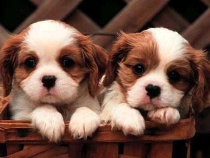cani, cuccioli, animali