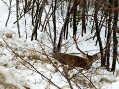 Il soccorso ad un cervo bloccato dalla neve ad Acquasanta Terme