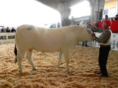 Premio per la manza più bella d'Italia a un bovino di un'azienda di Appignano del Tronto