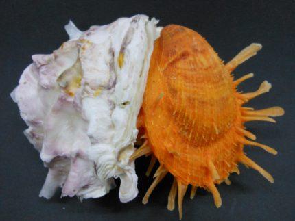 Conchiglia in mostra al museo Malacologico di Cupra Marittima